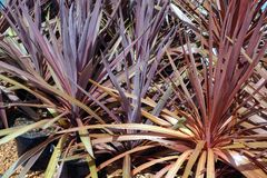 Red Cordyline Plants in Pots Stock Photos