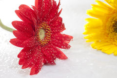 Red coreopsis with water drop Royalty Free Stock Image