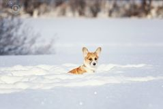 Red Corgi puppy sitting in deep white snowdrifts in winter in a park on a sunny day royalty free stock images