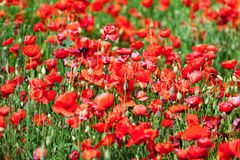 Red corn poppies Royalty Free Stock Photos