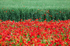 Red corn poppies Stock Photography
