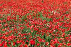 Red corn poppies Stock Image
