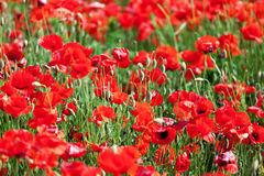 Red corn poppies Royalty Free Stock Image
