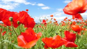 Red corn poppies on a meadow. Walking through corn poppies on an agricultural field and meadow - tracking shot in summer time stock footage