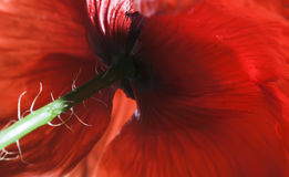 Red corn poppy Royalty Free Stock Images