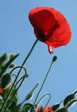 Red corn poppy. Red poppy seed on a sunny day royalty free stock photos