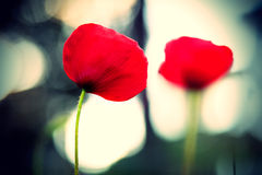 Red Corn Poppy with Bokeh Royalty Free Stock Images