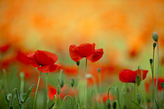 Free Red Corn Poppy Flowers Royalty Free Stock Image - 19915136
