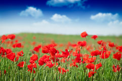 Red Corn Poppy Flowers Royalty Free Stock Images