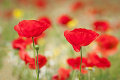 Red Corn Poppy Flowers Royalty Free Stock Photos