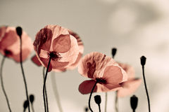 Red corn poppy flowers Stock Images