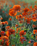 Red corn poppy flowers in summer Stock Photos