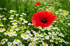 Red corn poppy papaver and chamomile flowers growing on colorful meadow in countryside. Spring field in blossom. Royalty Free Stock Photos