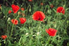 Red corn poppy (Papaver rhoeas) Royalty Free Stock Image