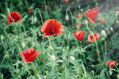 Red corn poppy Royalty Free Stock Image
