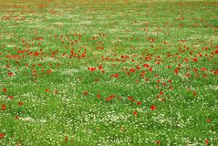 Red corn poppy and white daisy flowers field Royalty Free Stock Photos
