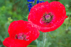 Red Corn Poppy in a Wildflower Field Stock Photos