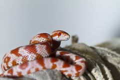 Red corn snake Stock Photos