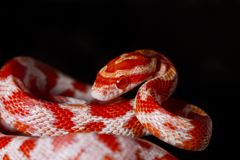 Red corn snake Stock Image