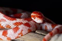 Red corn snake Royalty Free Stock Image