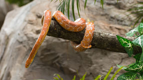 Red corn snake on a branch Stock Photo