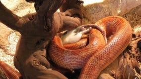 Corn snake constricting a rat
