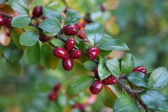 Red cornelian cherry Royalty Free Stock Photo