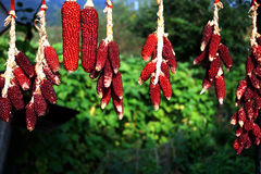 Red Corns Stock Photography