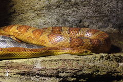 Red Cornsnake Stock Photography