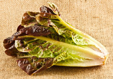 Red cos lettuce Royalty Free Stock Photography