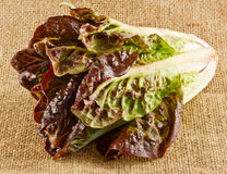 Red cos lettuce Royalty Free Stock Image