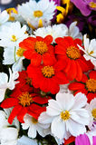 Red Cosmos Stock Image