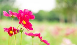 Red cosmos flower in graden.  royalty free stock photo