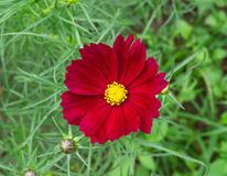 Red cosmos flower in graden.  stock photo