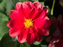 Red cosmos flower. Macro shot of garden and ornamental flowers, back, yard, bloom, leaf, plant, weed, green, area, nature, close-up, pollen, powder, beauty royalty free stock photography