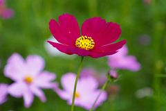 Red Cosmos royalty free stock photo