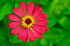 Red cosmos flower top down view Royalty Free Stock Photo
