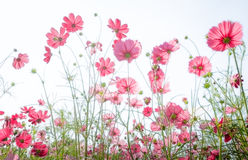 Red cosmos flower on white. Background Stock Images
