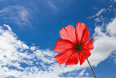 Red Cosmos Flowers Royalty Free Stock Image
