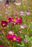 Red Cosmos flowers Stock Image