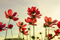 Red cosmos flowers Stock Images