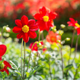 Red cosmos flowers Royalty Free Stock Images