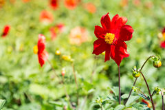 Red cosmos flowers Stock Photo