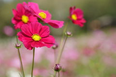 Red Cosmos flowers in the park. Stock Photography