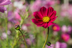 Red cosmos vivid flower Royalty Free Stock Image