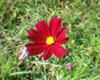 Red cosmos  Royalty Free Stock Photos