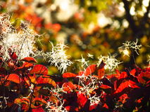 Red cotinus fence against sun with white flowers Stock Images
