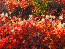 Red cotinus fence against sun with white flowers Royalty Free Stock Photos