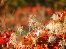 Red cotinus fence against sun with white flowers Stock Image