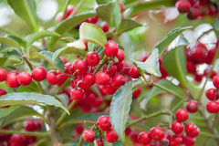 Red Cotoneaster 'Hybridus Pendulus' berries Stock Photography